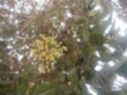 Irvingia-gabonensis