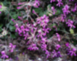 pelargonium_sidoides